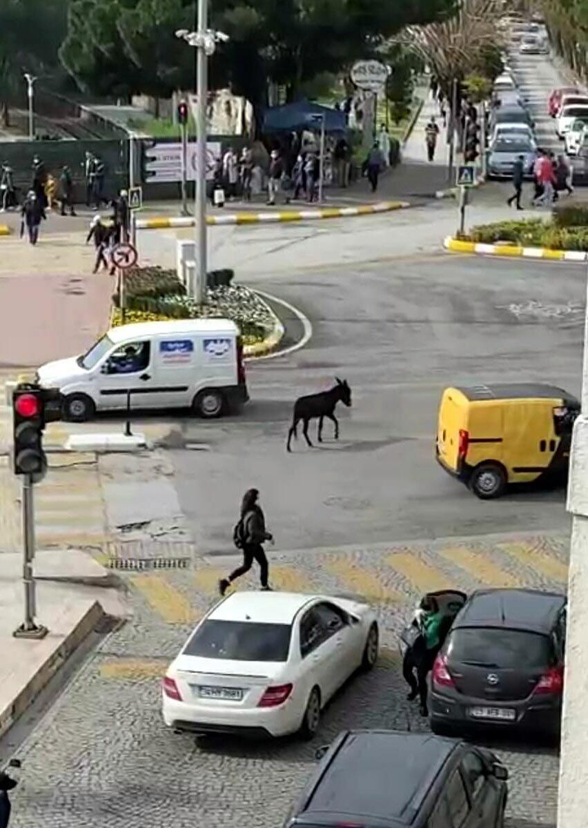 Aydın caddelerinde yürüyen sıpa #2