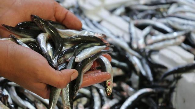Son Dakika: İstanbul Boğazı ve Karadeniz'deki hamsi avı yasağı 7 Şubat'a kadar uzatıldı
